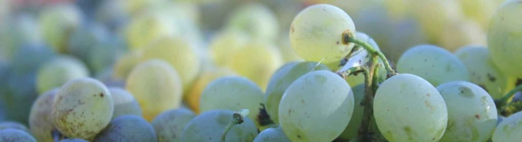 organic grapes fermenting on solids